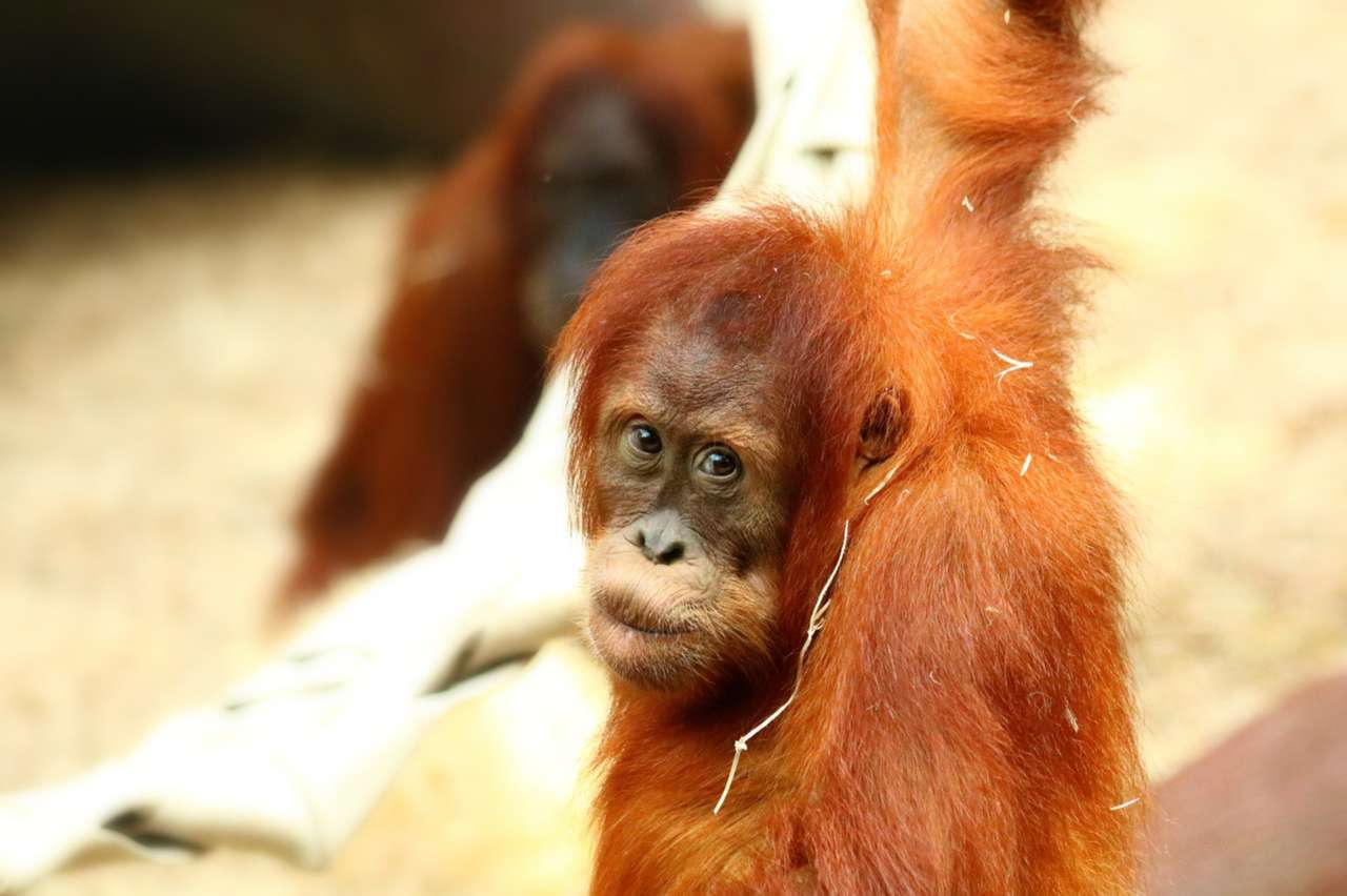 There Are 100,000 Orangutans Left—They Need to Wear Better Cosmetics