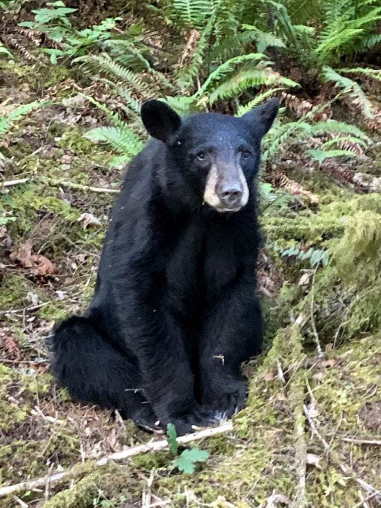 Black Bear Killed by Oregon Department of Fish and Wildlife. Credit: Washington County Sheriff.