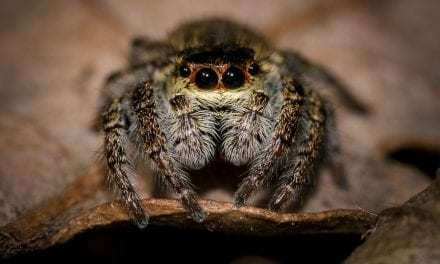Christmas Jumping Spiders Have Arrived, And They're The Cutest Things Ever