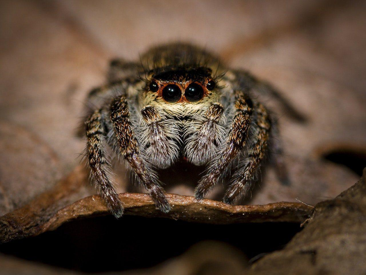 Christmas Jumping Spider