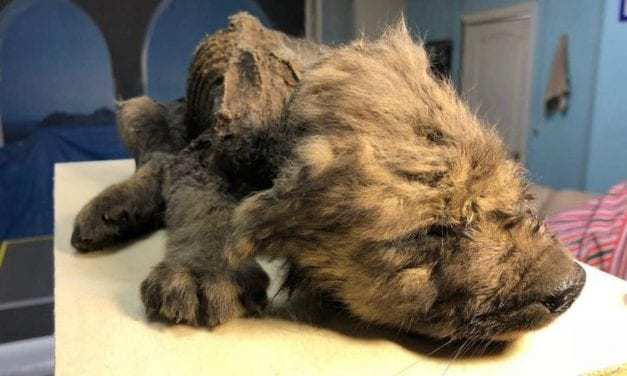 Scientists Found an 18,000-Year-Old Puppy Perfectly Preserved in Permafrost